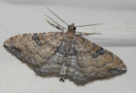 Orthonama obstipata Hodges#7414 - Orthonama obstipata - female