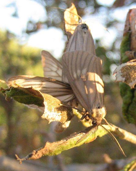 Moths mating on a small live oak tree - Phryganidia californica - male - female