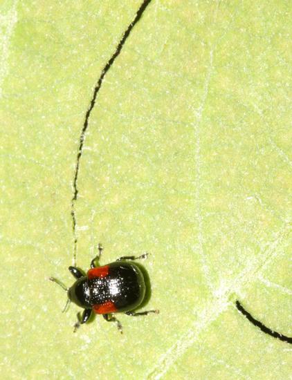 Leaf Rolling Weevil - Synolabus bipustulatus