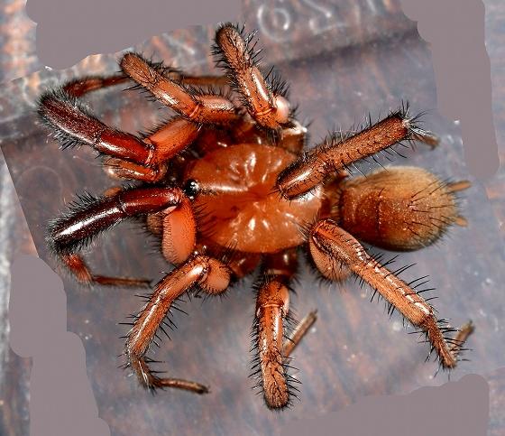 Lycosidae? - Antrodiaetus hageni