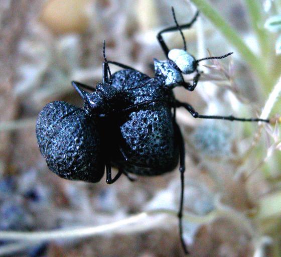 Desert Spider Beetles - Cysteodemus armatus - male - female