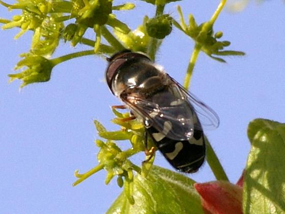 Syrphid Fly - Scaeva pyrastri - male