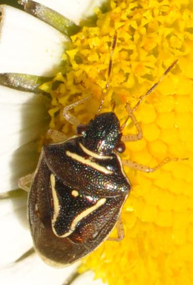 Stinkbug - Mormidea lugens