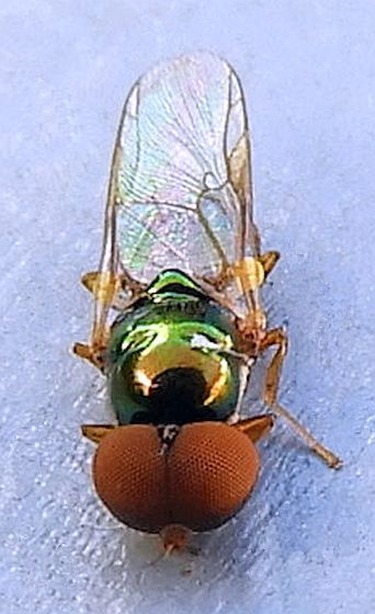 Pennsylvania Diptera for ID - Microchrysa flaviventris