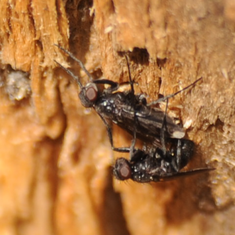 Found on a dead tree - Melanophora roralis - male - female