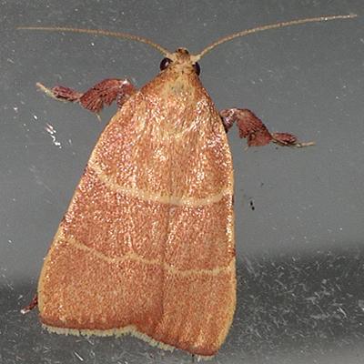 Parachma Moth - Parachma ochracealis