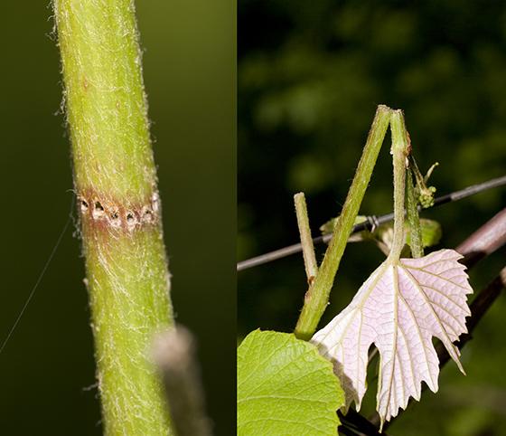 Grape Cane Girdler damage - Ampeloglypter ampelopsis