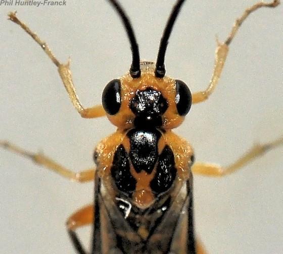 Hymenoptera - Nematus tibialis