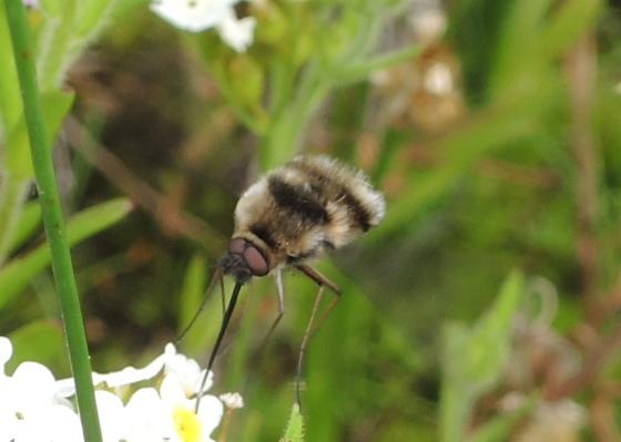 Bee Fly 1 - Bombylius
