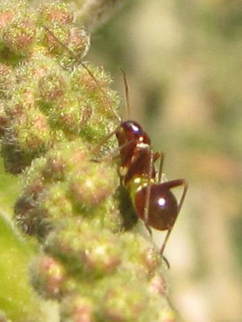 Ant on Stinging Nettle - Closterocoris amoenus
