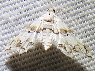 Oxyelophila callista from Comal County, TX - Oxyelophila callista