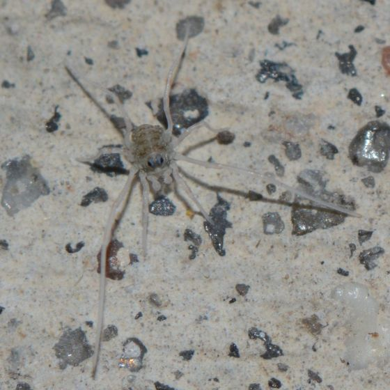 Immature Opiliones thing???