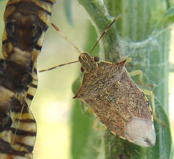 Predatory Stink Bug - Podisus maculiventris