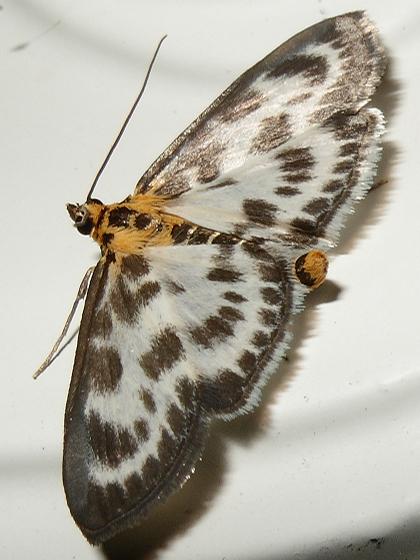 Moth - Anania hortulata