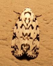 Moth - Polygrammate hebraeicum