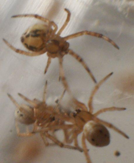 hatchlings - Latrodectus hesperus