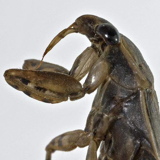 The beak - Belostoma testaceum