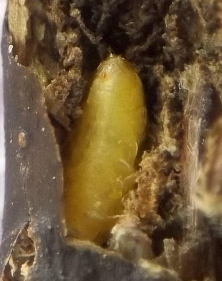 Stem borer, Polymnia - Melanagromyza