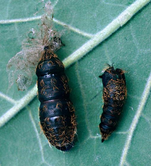 Gypsy Moth Pupae - Lymantria dispar
