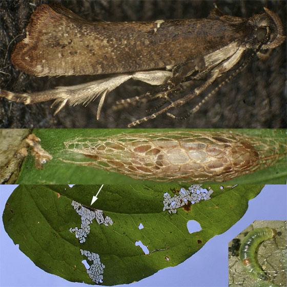 Acrolepiopsis heppneri