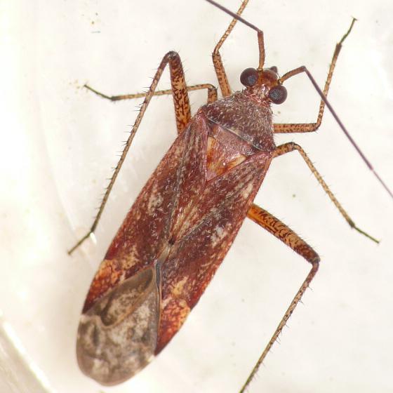 Phytocoris fenestratus