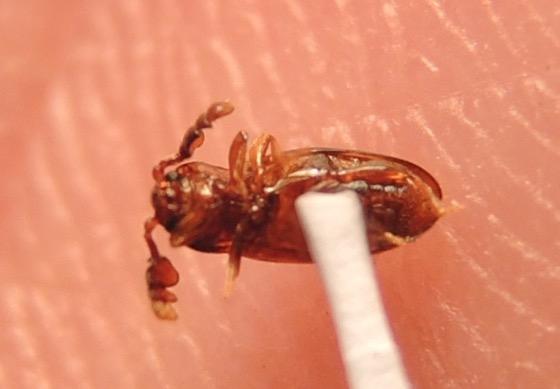 Beetle - Ant Guest - Phymaphora californica