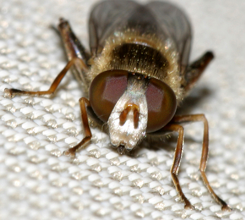 syrphid fly, genus Anasimyia - Lejops bilinearis - male