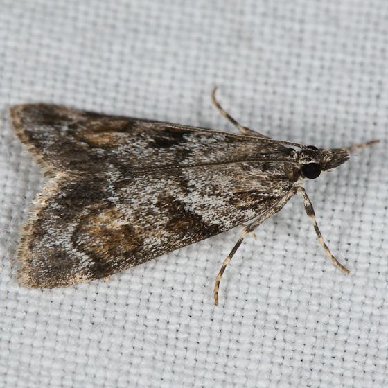 Cosipara tricoloralis