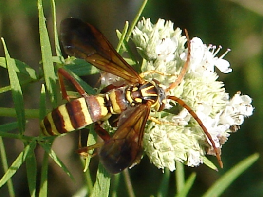 Paper wasp? - Poecilopompilus interruptus
