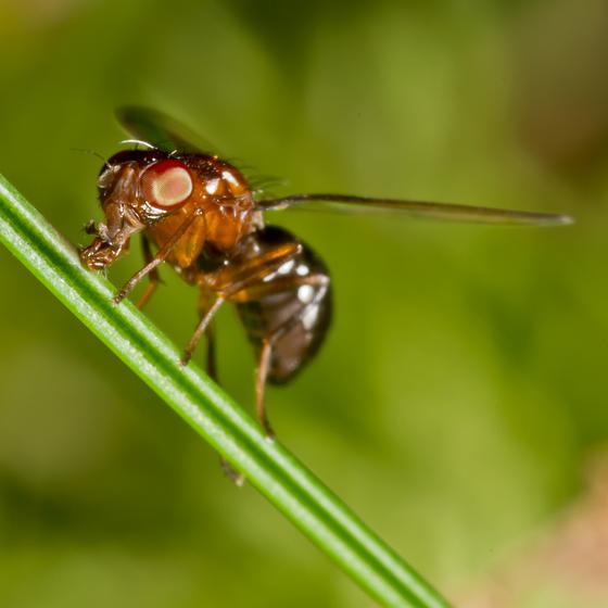Unknown Fly - Mycetaulus