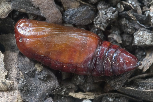 Life cycle of a White-tipped Black: Pupa - Melanchroia chephise
