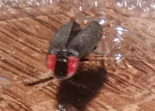 Red and Black Beetle - Pyropyga - BugGuide Net