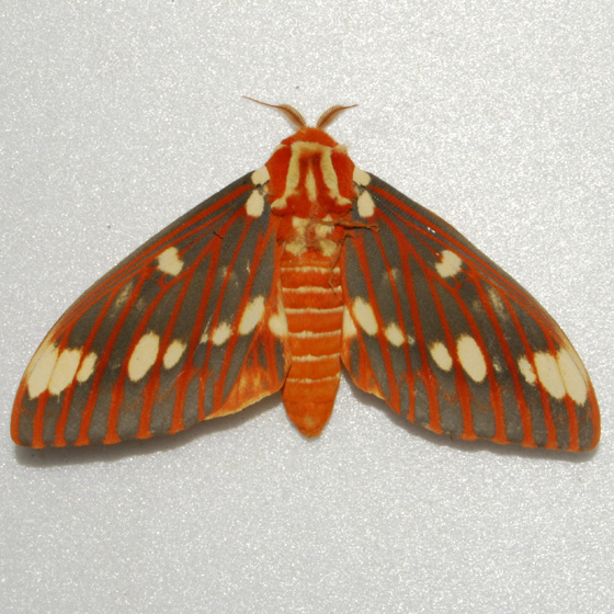 Regal Moth - Hodges#7706 - Citheronia regalis