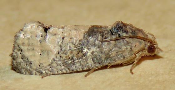 Locust Twig Borer Moth - Hodges#3497 - Ecdytolopha insiticiana