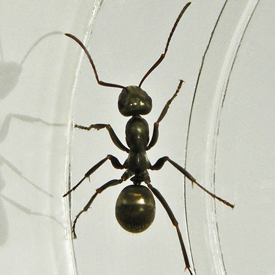 field ant - Formica subsericea