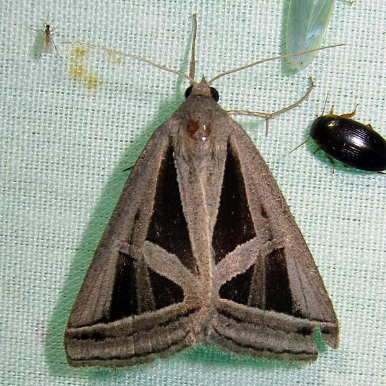 Euclidea triangula? - Callistege triangula