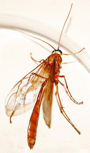 Slender Red-Orange Wasp (Dorsal View) - Enicospilus