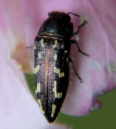 Acmaeodera on Robinia Flower - Acmaeodera cuneata