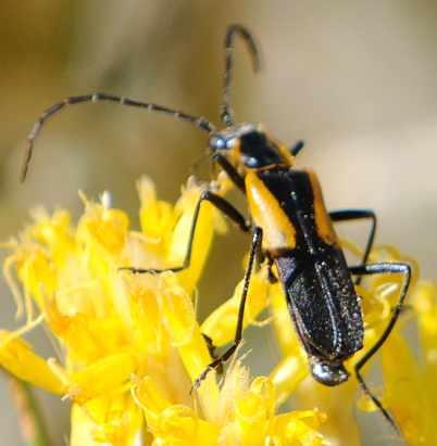 UID BEETLE - Chauliognathus basalis