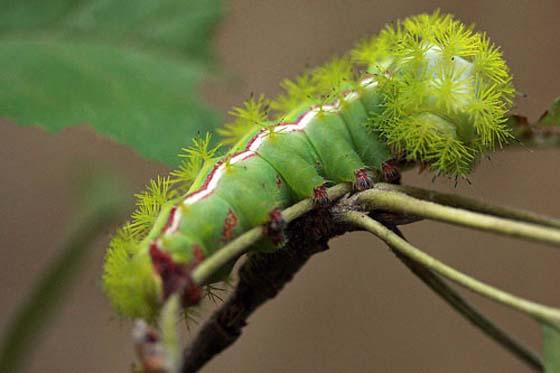 Io Moth, Automeris io - Automeris io