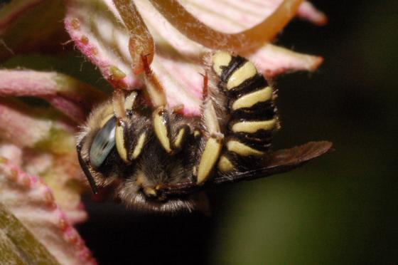 Native Carder Bee - Anthidium - Anthidium