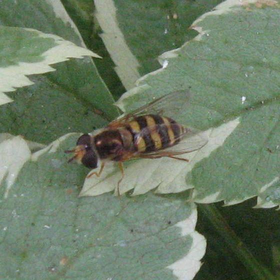 Syrphidae 01b - Eupeodes fumipennis