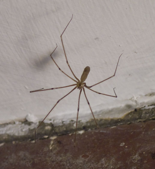 Long-bodied Cellar Spider