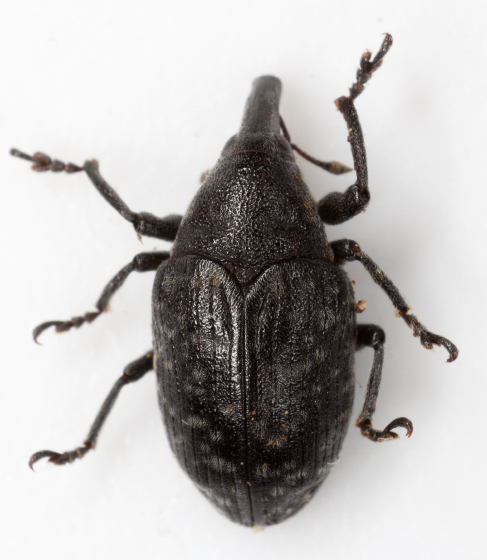 Larinus turbinatus