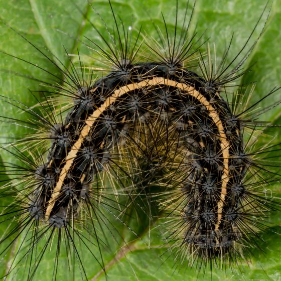 Unknown Caterpillar - Virbia