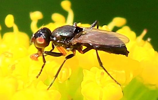 black scavenger fly male maybe - Saltella sphondylii