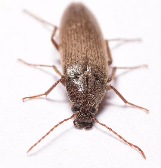 Fuzzy Brown Beetle - Synchroa punctata