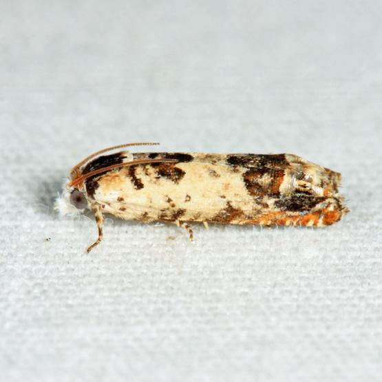 Tortricid - Eucosma ornatula