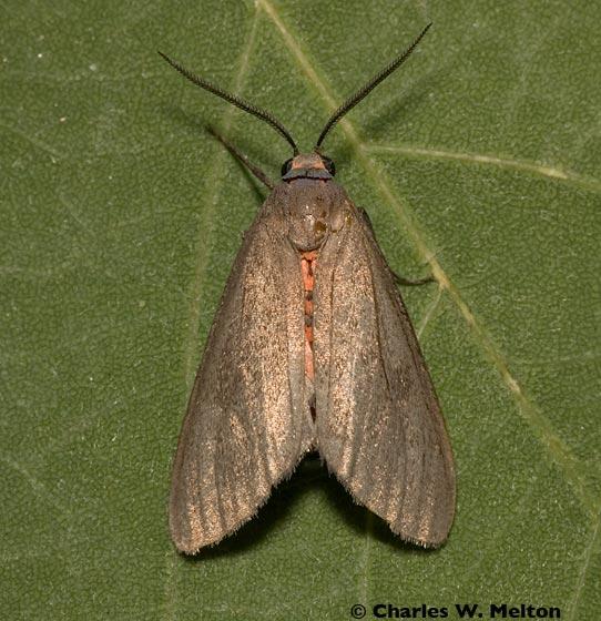 Moth - Euchaetes fusca