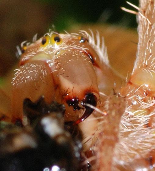 female cross spider - Araneus diadematus - female